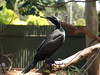 Little Black Cormorant<br /> (Phalacrocorax sulcirostris)<br /> Featherdale Wildlife Park