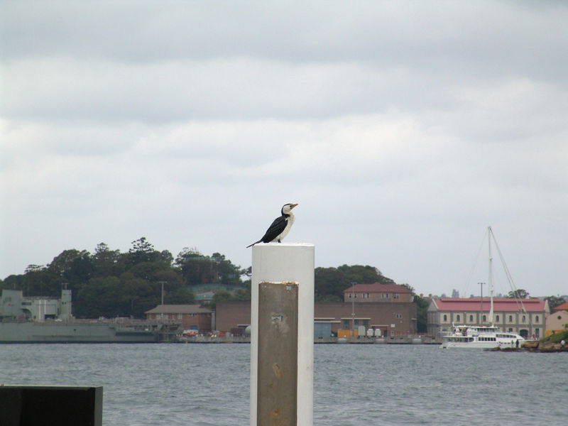 Little Pied Cormorant <br /> (Phalacrocorax melanoleucos)<br /> At Sydney Harbor, NSW