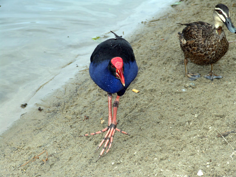 Purple Swamp Hen, Porphyrio porphyrio<br /> Centennial Park, Sydney, NSW         Looking for another hand out.