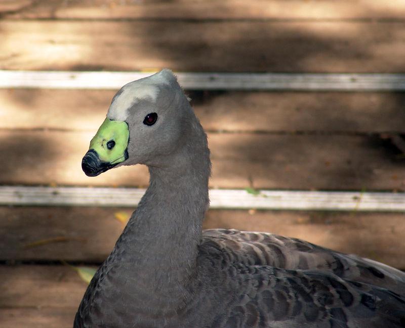 Cape Barren Goose <br /> (Cereopsis novaehollandiae)<br /> Featherdale Wildlife Park