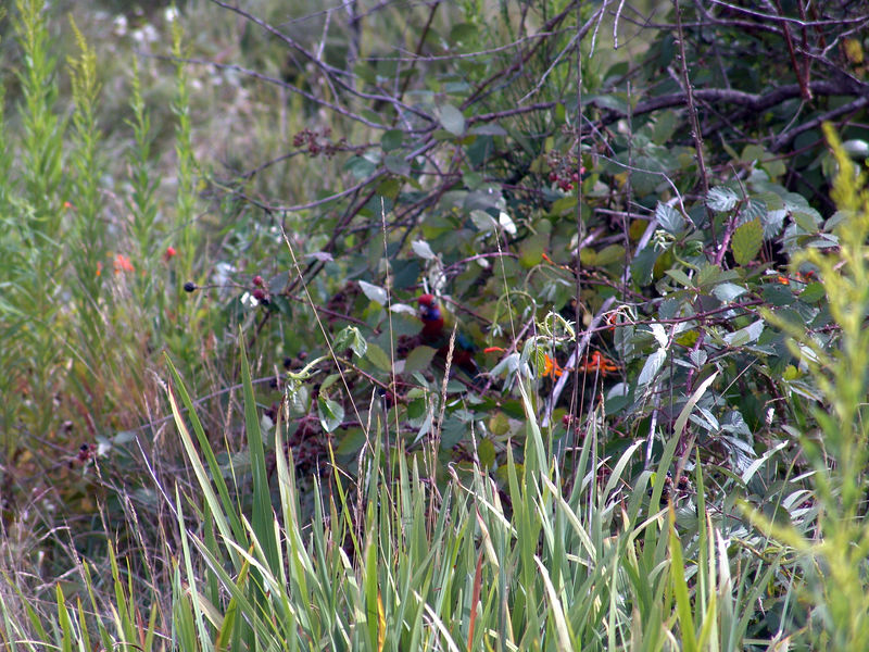 Some Photos of various Lorikeets seem flying around in search of fruit to eat