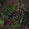 Lyre bird on way to Minnamurra Falls in Budderoo National Park.