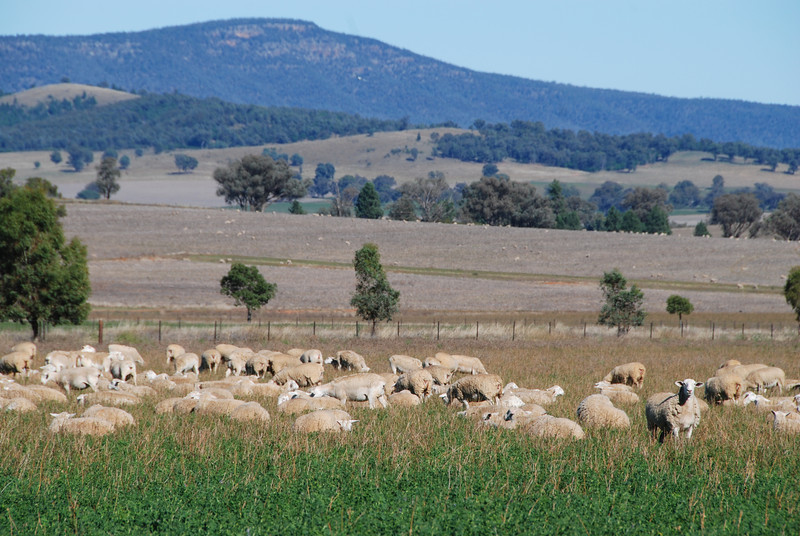 Sheep in central NSW.
