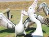 Pelican disco