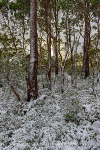Dawn through the snow covered gums