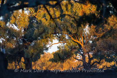 Last light of the day making a show on the trees beside the river.  Darling River, NSW