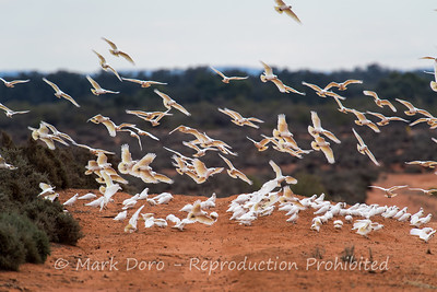 Short billed Corella's over the red dirt, Darling River, NSW