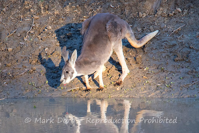 Evening drink, Darling River, NSW