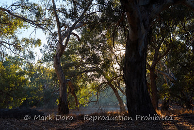 Afternoon light through the River Red gums, Darling River, NSW