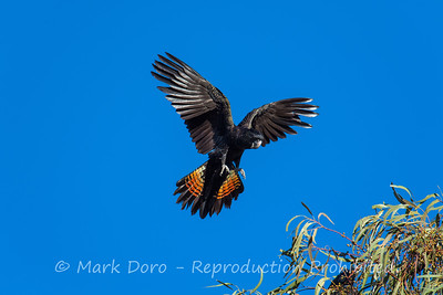 Red-tailed Black Cockatoo coming into land, Darling River, NSW