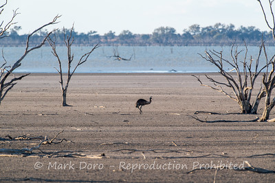 Emu looking for food in the drought ravaged lake edges, Menindee, NSW