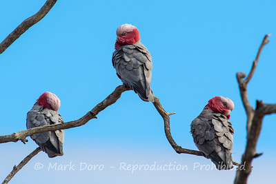 Galah trio, Darling River, NSW