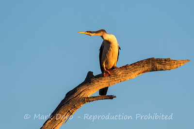 Australasian Darter in the last light of the day, Darling River, NSW