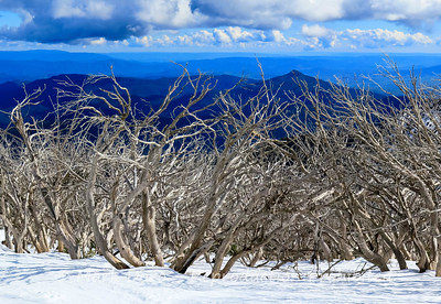 Fire ravaged snow gums at Mount Buller, with the endless blue Alps behind