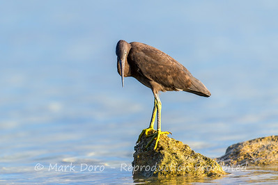 Dark morph of the Eastern Reef Egret, Heron Island, Queensland