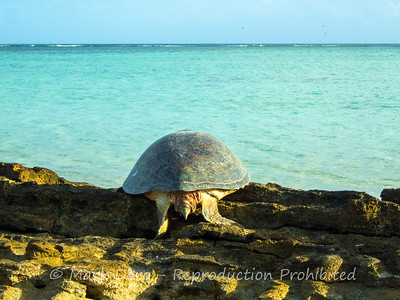 A female Green Turtle heads back to the ocean after laying her eggs, Heron Island, Queensland