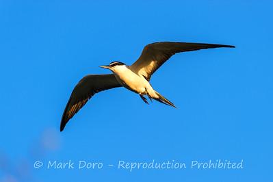Bridled Tern, Heron Island, Queensland