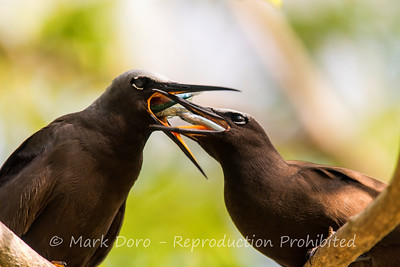 A Black Noddy feeding its chick on return from a successful fishing expedition, Heron Island, Queensland