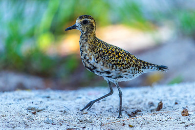 Pacific Golden Plover, Heron Island, Queensland
