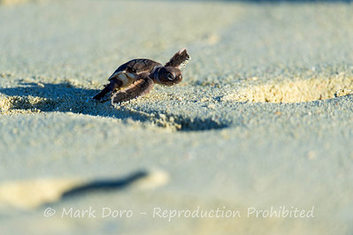 A Green Turtle hatchling runs the gauntlet to the ocean, Heron Island, Queensland