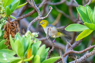 Capricorn Silvereye, Heron Island, Queensland