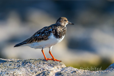 Ruddy Turnstone, Heron Island, Queensland