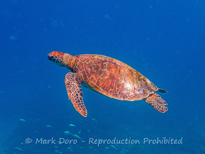 A Green Turtle in the crystal clear waters of Heron Island, Queensland