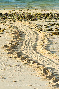 Green Turtle tracks in the sand, Heron Island, Queensland