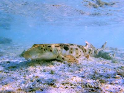 Epaulette Shark, Heron Island, Queensland