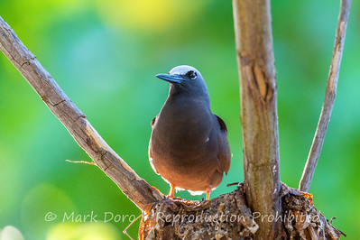 Black Noddy, Heron Island, Queensland