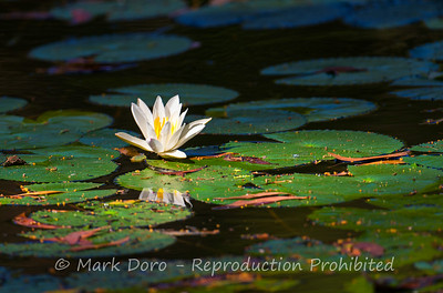 Water lily, Kakadu, Northern Territory