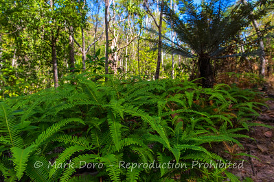 Ferns lining the track near Sand Creek Falls, Litchfield, Northern Territory