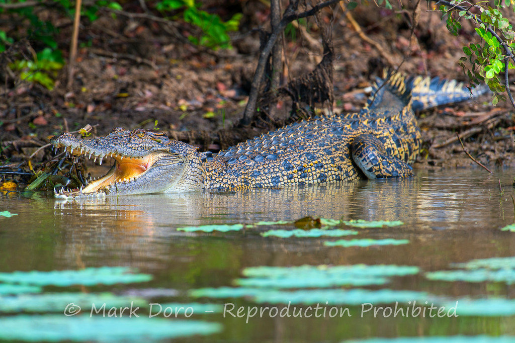 Saltwater crocodile, basking on the edge of the billabong in the Mary River, Northern Territory