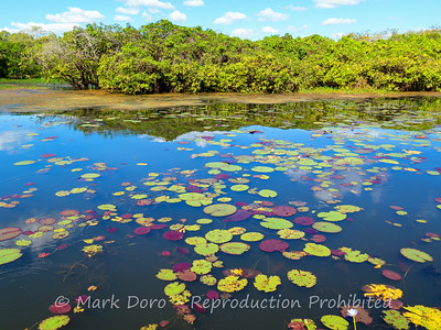 Water lilies hiding the barramundi, Mary River, Northern Territory