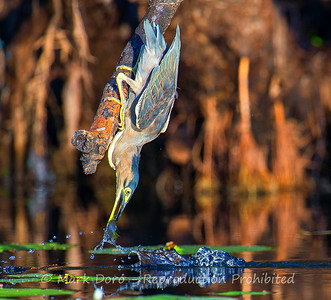 Striated Heron (also known as the Mangrove Heron), with an early morning fish, Mary River, Northern Territory