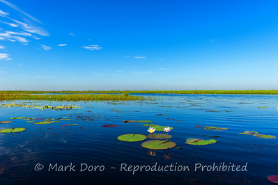 Water lilies on the Mary River flood plain at the start of the dry season, Northern Territory