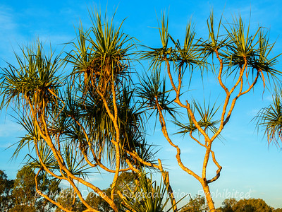 Pandanus tree, Mary River, Northern Territory