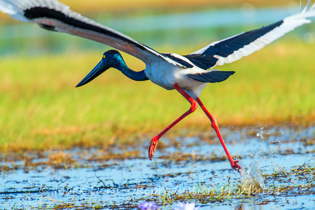 A female Jabiru (also known as a Black Stork) takes flight in the wetlands of the Mary River, Northern Territory