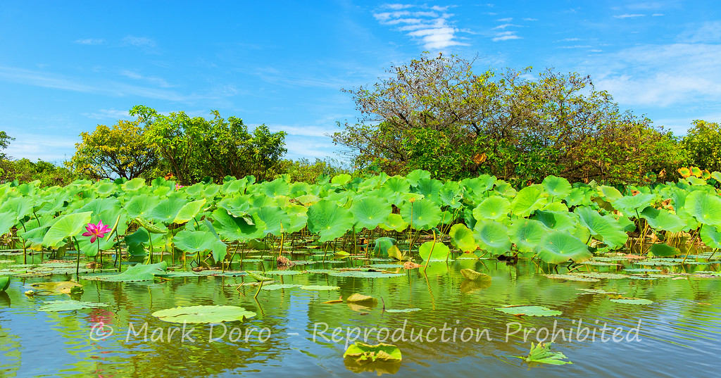 Water lilies, Mary River, Northern Territory