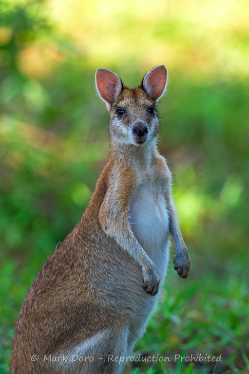 Agile Wallaby, Mary River, Northern Territory