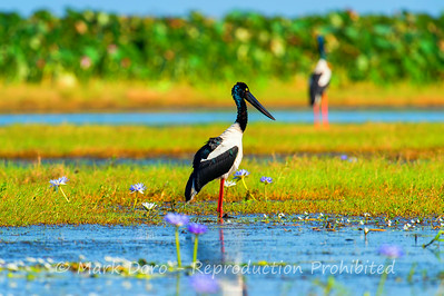 A pair of Jabiru, Mary River flood plain, Northern Territory