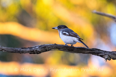 Butcherbird in the last light of the day, Boat Harbour, NSW