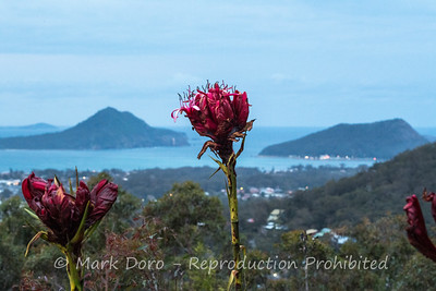 Gymea lillies, Lilly Hill, Port Stephens, NSW