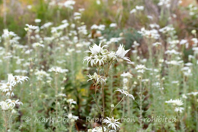 Flannel Flowers, Boat Harbour, NSW