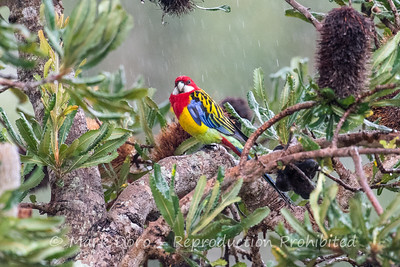 Eastern Rosella sheltering from the rain in a Banksia.  Boat Harbour, NSW