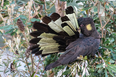 Yellow-tailed Black Cockatoo preening, Boat Harbour, NSW