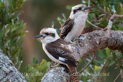 Kookaburras, Boat Harbour, NSW
