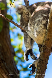 Koala, Tilligerry, Port Stephens, NSW