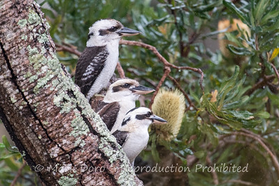 Los Trios.  Kookaburras in the rain, Boat Harbour, NSW