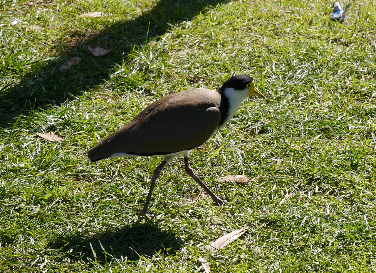 This lapwing wasn't a pest but it was foraging for food left by people.